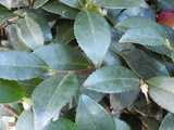 Tough dark green evergreen leaves of a Christmas Camellia, showing serration and coming to a point