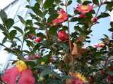 A Christmas Camellia with bright red-pink blooms with yellow centers, dark evergreen leaves, and a few unopened buds