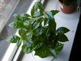 A coffee plant, with smooth, dark green, pointed leaves, opposite on stems, growing on a windowsill