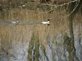 Two common mergansers, brightly colored diving ducks, swimming in ripply water with reflection of trees and reeds