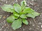 A common plantain plant, showing tough, round leaves with ridges, growing radially, in some mulch