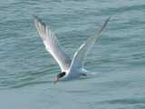 A common tern, flying, with water in the background