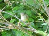 Female common yellowthroat, a drab small bird with a yellowish breast and throat, brown back, eye ring, and yellow tail