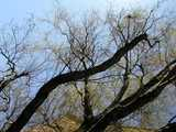 Dark, curling branches of a curly (corkscrew) willow tree, taken from below from a strange, diagonal angle, showing a dense network of extremely curly smaller branches