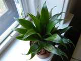 A Dracaena fragrans, Janet Craig Compacta, a small houseplant with dense, dark-green leaves growing in a radial pattern, a bit like leaves on a corn stalk but much denser