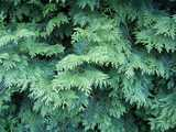 Foliage of an eastern whitecedar, showing foliage made up of flat scales rather than needles