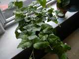 English ivy growing as a houseplant, on a windowsill