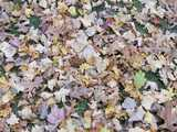 A photo of numerous fallen autumn leaves of different colors and shapes, on grass