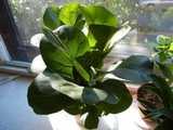 A fiddle-leaf fig, as a houseplant, on a sunny windowsill