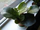 A small pot containing a small fiddle-leaf fig plant with three stems, on a windowsill