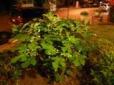 A fig tree, with unripe figs, at night, in a yard in a residential neighborhood, with orange lighting from street lights