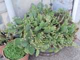 A straggling prickly pear cactus overflowing from a pot on a city sidewalk, up against a building, with numerous unripe fruit