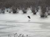 A great blue heron standing on ice in a frozen wetland