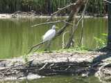 A great egret, large white heron-like bird with a yellow bill and long, gray legs, walking on a muddy island in a small pond, with a dead tree on the right and reeds along the pond's edge in the background
