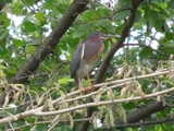 A green heron, showing bold colored plumage, perched on a branch with flowering catkins