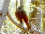 Photo of a hermit thrush perched on a branch, from behind, showing brown upper back and reddish rump and tail