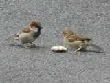 Two house sparrows on a coarse gray street, with a piece of food in between, the one an adult male showing bold black throat patch and reddish on head, the other a juvenile begging for food