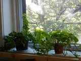 An ivy plant and a pothos plant, on a mostly-shaded windowsill, with a sunny view of a tree out the window