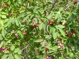 A juneberry bush with rounded leaves, and numerous blueberry-shaped berries, of varying colors from greenish white to pinks and deep purples