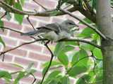 A juvenile mockingbird in a tree, looking like a mockingbird but with a more delicate bill, with a brick wall in the background