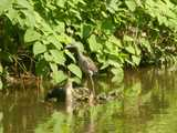 A juvenile yellow-crowned night-heron, perched on the edge of dense vegetation on the edge of a muddy stream.