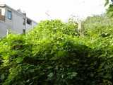 Kudzu vines growing over something, completely covering it, with a plain modern building in the background.