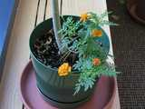 A marigold plant with four blooms at various stages, growing out of a pot with a single stem of a larger plant, the top of which is not visible
