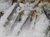Mullet fish in a bed of ice, relatively long, tube-shaped fish showing shiny metallic scales, reddish heads, and very small fins