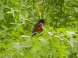 An orchard oriole, a bird with a black head and back and dark red breast, and thin black bill, perched in dense foliage of a scarlet oak