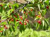 Small, bright red cherries, on a tree, with leaves and branches, in bright sunlight