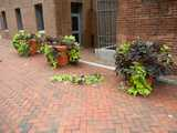 Three large planters of ornamental sweet potatoes, on a brick sidewalk, with leaves and plants torn off and lying on the ground