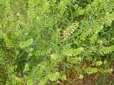 Peppergrass plant, showing unripe seedheads of numerous green, flat seeds, growing from a spindly-looking plant with thin, wiry, dark green leaves