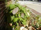 A perilla plant growing in a flower bed in an urban area