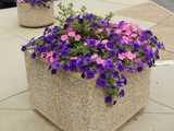 Deep purple and bright pink petunias overflowing from a large square planter in the middle of a concrete terrace,with a small variegated holly in the middle of the planter.