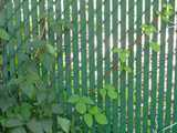 A poison ivy plant growing diagonally along a chain link fence with green slats in it
