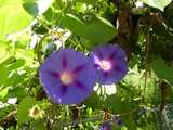 Two morning glory flowers, with light blue-purple blooms and red-purple veins, and white centers