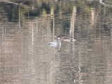 A somewhat blurry picture of a red-necked grebe in ripply water