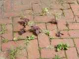 Photo of red shiso, a basil-like plant with dark red leaves, growing in cracks in a sidewalk, with a few other plants coming up as well