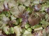 Red shiso or perilla, showing broad purple-red leaves with some green, with an opposite-leaf growth habit like coleus or basil