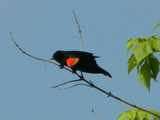 Red-winged blackbird, a jet black bird with a bright red shoulder-patch lined with a bright yellow edge, on a bare branch looking downward, about to leap off in flight