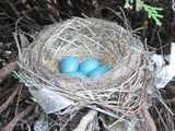 A robin nest, with small blue eggs, showing round, neat construction of sticks, mud, and a few pieces of trash, in a cedar (juniper) bush