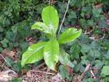 A southern magnolia seedling, with large, shiny, light green leaves, in a bed of ivy with dark green leaves