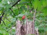 A bright red bird perched on a bare branch atop a broken dead tree in a forest