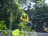 A sunflower facing the other direction, displaying yellow petals around the edge, broad leaves somewhat wrinkled, a chain link fence and some wires and trees and a builidng in the background