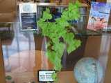A sweet potato being grown indoors as a houseplant, in the window a library, with books, signs, and a globe