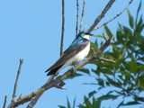A tree swallow, showing shiny blue top, grayish wings, and white breast, perched on a dead branch, with foliage of a tree behind, against a bright blue sky