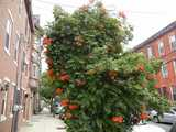 A small city street with three story red brick rowhouses, with a massive trumpet vine growing on something like a street tree, with dark green foliage and bright reddish-orange trumpet-shaped flowers