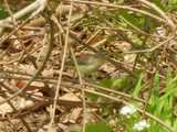 Warbling vireo, a small, drab gray bird, climbing among branches