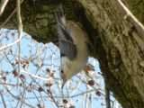 White-breasted nuthatch, climbing down a tree trunk, upside down