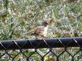 A first winter white-crowned sparrow, fairly drab, perched on a black chain-link fence